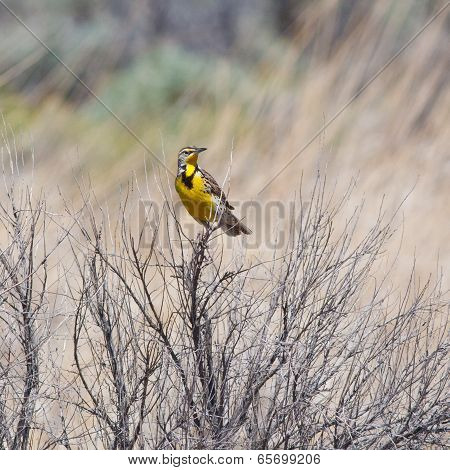 Meadowlark In The Bushes