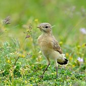 The Isabelline Wheatear juvenile (Oenanthe isabellina) on field poster