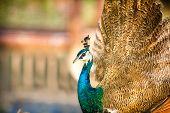 proud beautiful Peacock bird wonderful feather  poster