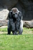 Gorilla, big single mammal on grass poster