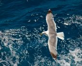 Seagull flying over a blue water background poster