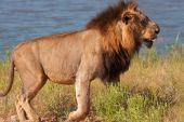 Lion (panthera leo) walking in savannah in South Africa poster