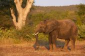 Large elephant bull standing in the nature reserve in South Africa poster