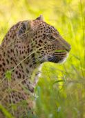 Leopard (Panthera pardus) resting in savannah in nature reserve in South Africa poster