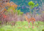 Single Reedbuck (Redunca arundinum) standing in the nature reserve in South Africa poster