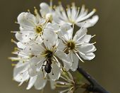 Blackthorn blossom - Prunus spinosa with Red Wood Ant - Formica rufa poster