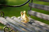 Little cute ducklings on bench in the park poster