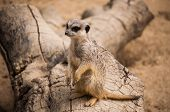 The meerkat or suricate in Lisbon Zoo (Portugal) poster