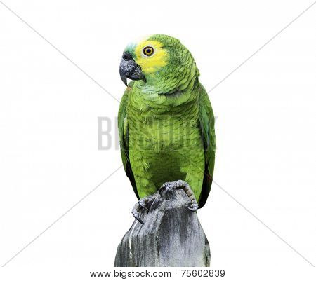 Green Parrot in Amazon isolated on white background