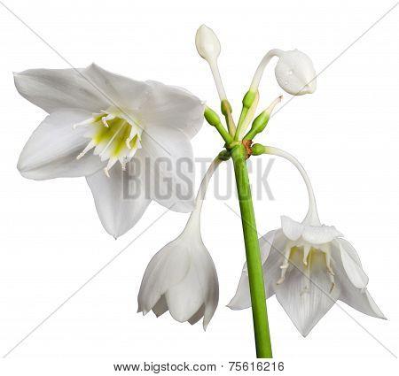 White Eucharis Grandiflora Flower