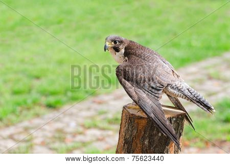 Wild falcon predator hawk fastest raptor bird of prey perched on stump and spread their wings against green grass with free copy-space area for text poster