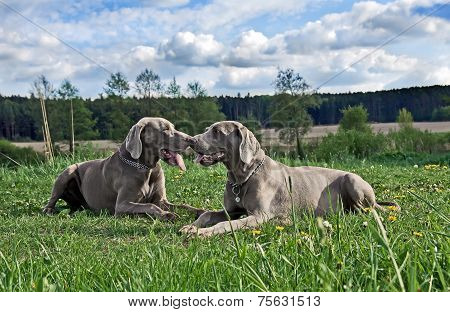 Couple of weimaraners