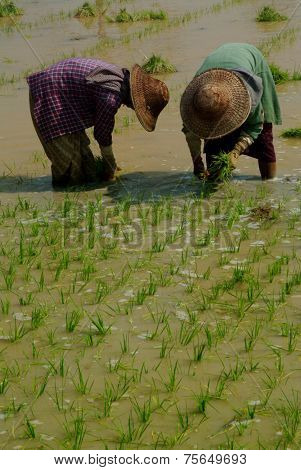 Twin Womens Working In Ricefield , Myanmar.