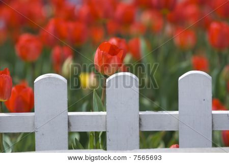 Red Tulips Behind White Fence