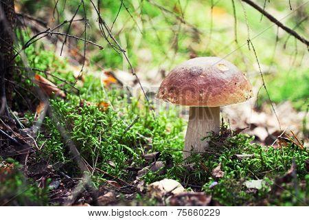 Mushrooms Series: Porcini (penny Bun, Cep)