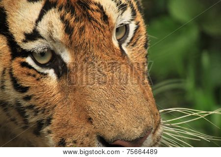 tiger is looking at you