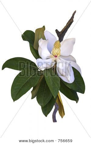 Magnolia on white background
