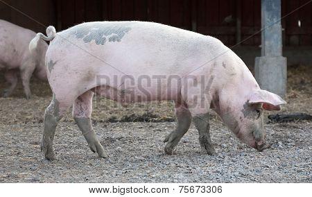 Big Pig Full-length Profile