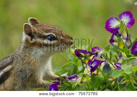 Chipmunk and Violas