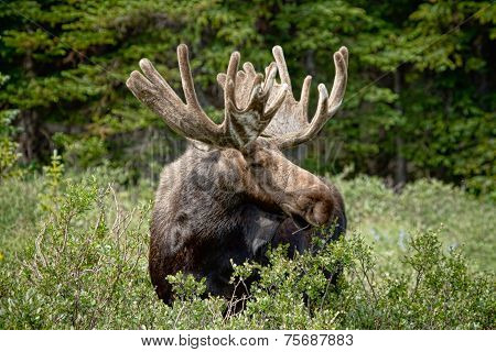Moose Be Too Cool