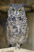 Spotted Eagle Owl Portrait shot in Athens Zoo poster