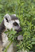 Ring-tailed Lemur (Lemur Catta) Portrait, Athens Zoo Park, Greece poster
