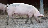big pig full-length profile on animal farm background poster