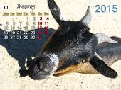 beautiful calendar for January of 2015 year with goat poster