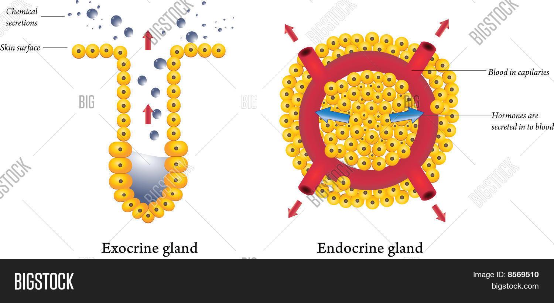 Groß Exokrinen Vs Endokrinen Drüsen Fotos - Menschliche Anatomie ...
