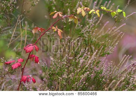 Red blackberry bush and heather in autumn