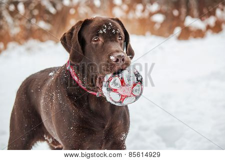 chocolate Labrador on the background of a winter forest snow