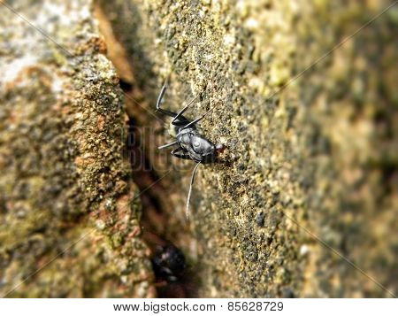 Carpenter Ant 1
