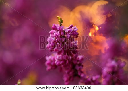 Pink Flowers Of Cercis At Sunset