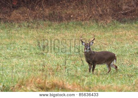 Large White-tailed Deer Buck
