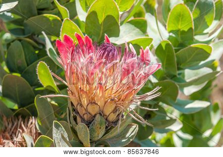 Protea Eximia, The Broad-leaf Sugarbush Or Duchess Protea