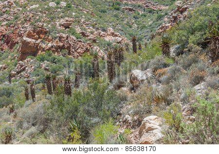 Aloe Ferox Seen From The Swartberg Pass