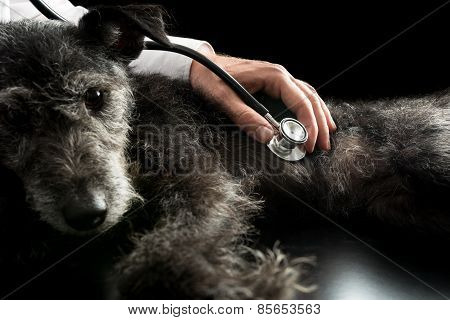 Vet Examining A Dog With A Stethoscope