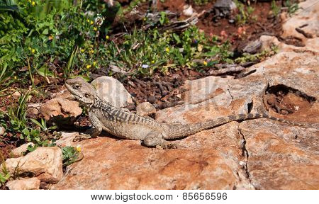 Lizard On A Rock At The Island Of Delos In Cyprus