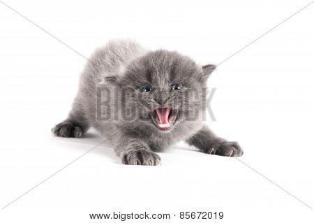 Angry Grey Kitten On A White Background