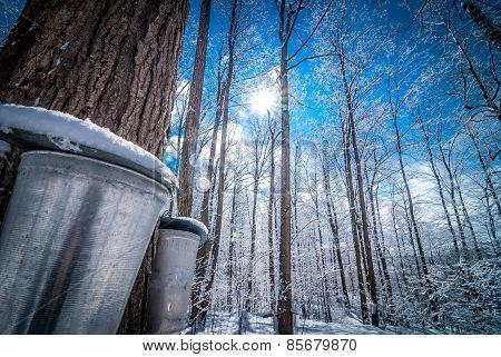 Maple sap buckets await their fill.