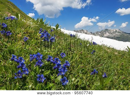 Blooming gentian in the mountains