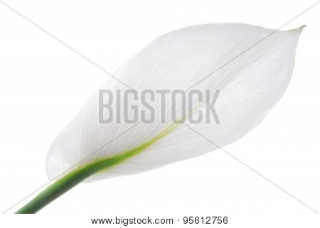 spathiphyllum flower isolated on white