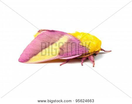 Rosy Maple Moth Isolated