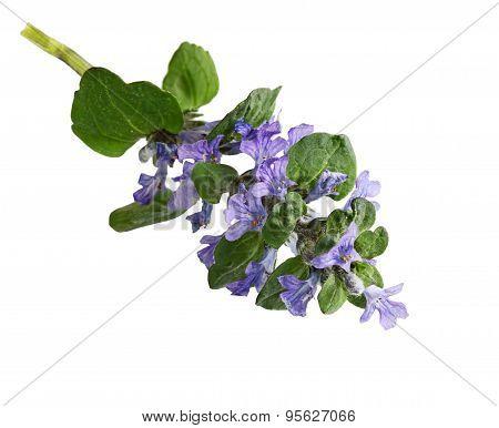 Bugleweed Flower