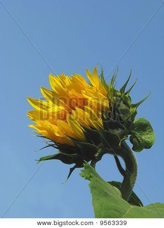 Semi-open sunflower