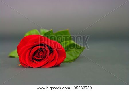 Red Rose On A Drey Background