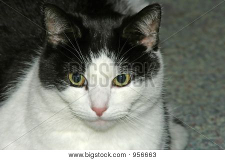 poster of black and white cat staring straight ahead