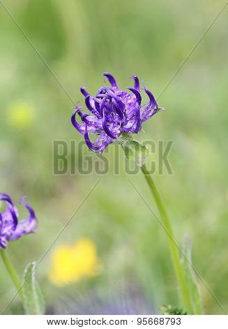 Alpine Flora: round-headed rampion,