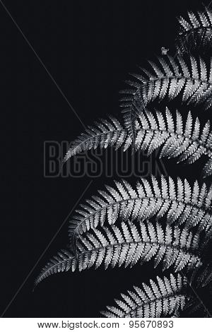 Fern in black and white