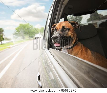 a boxer pit bull mix dog riding in a car with her head out of the window